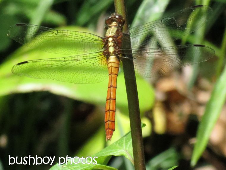 dragonfly_named_binna burrra_dec 2015