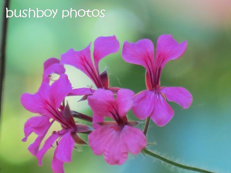 geranium_binna burra_named_dec 2015