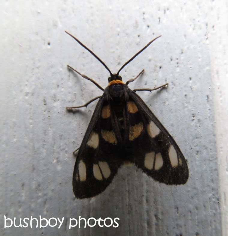 moth_binna burra_named_dec 2015