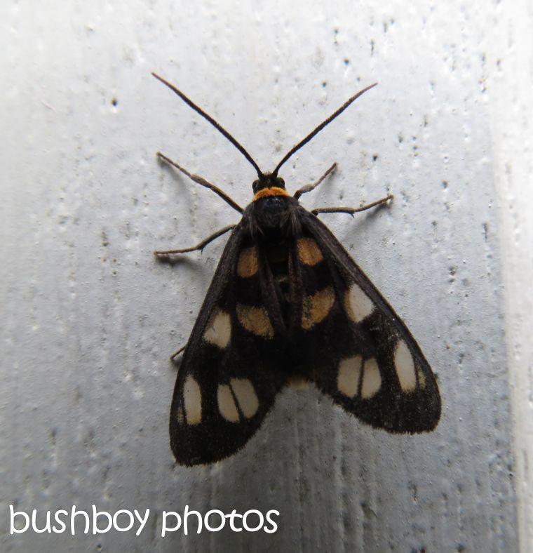 moth_binna burra_named_dec 2015