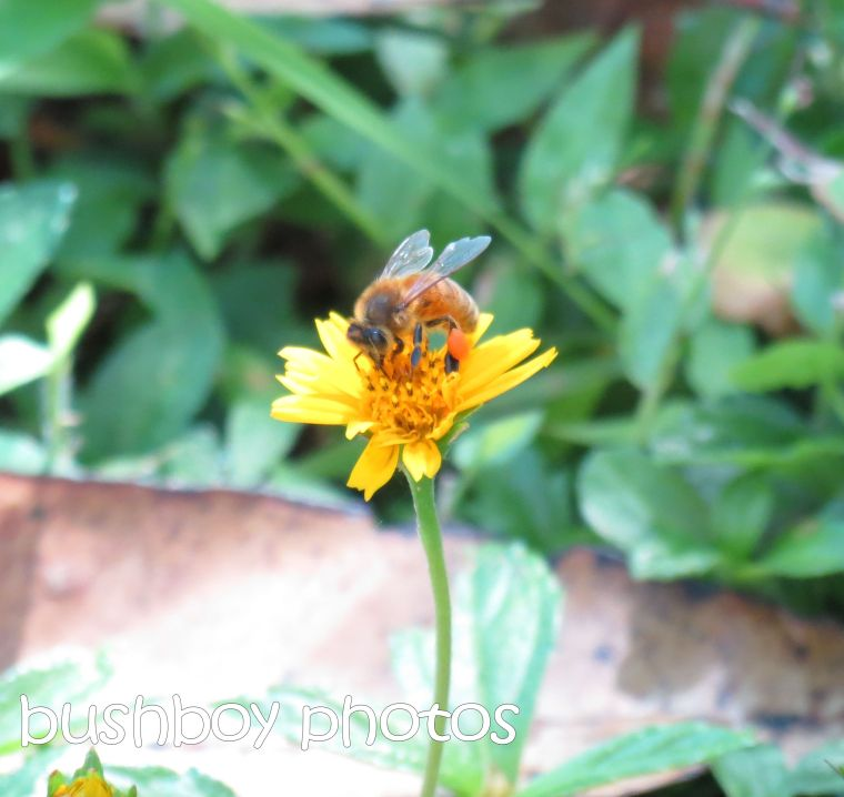 bee_binna burra_crop_named_feb 2016