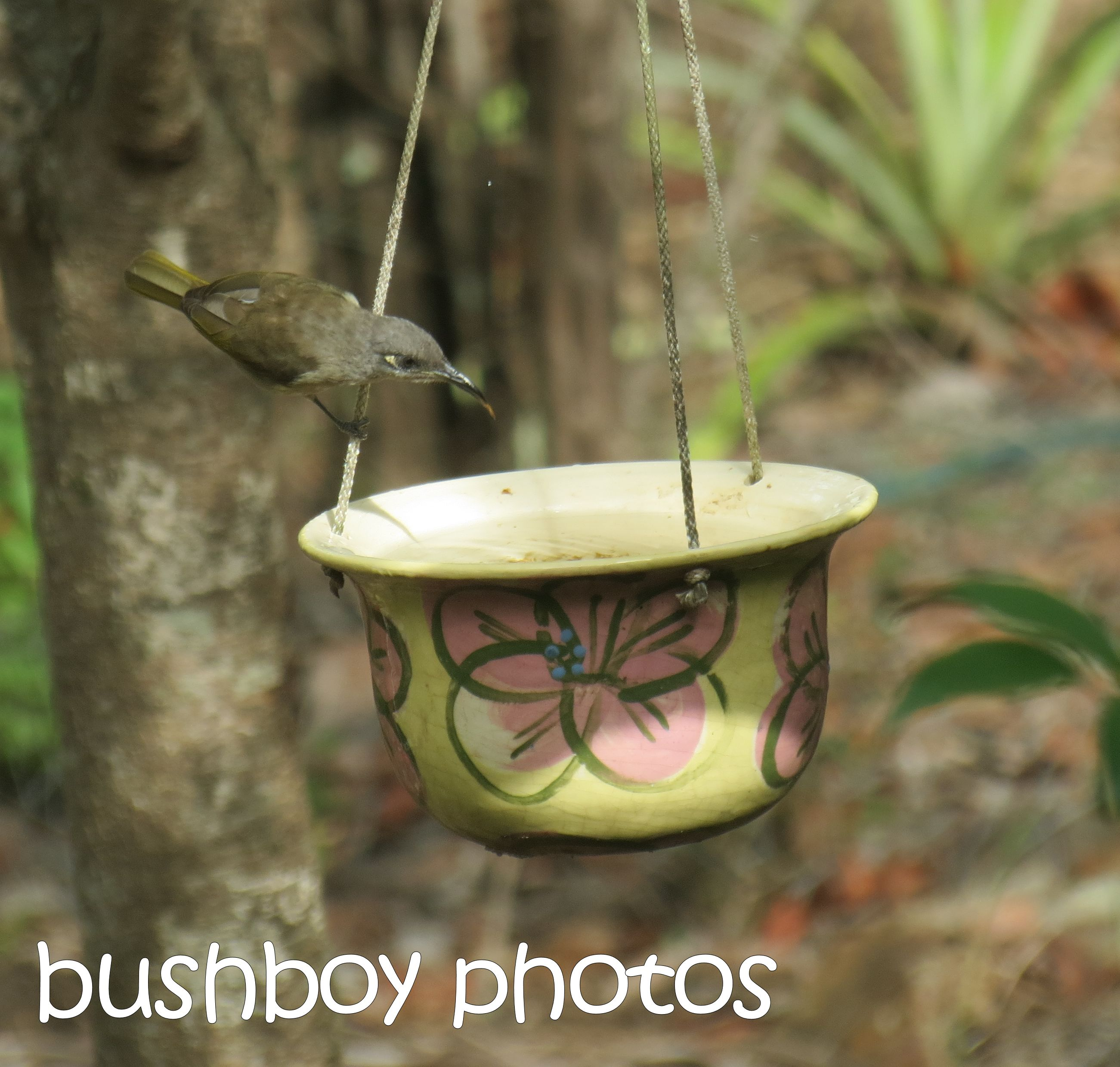 brown honeyeater_bird bath_named_home_march 2016