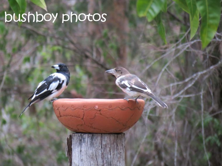 butcher bird_young_home_named_feb 2016