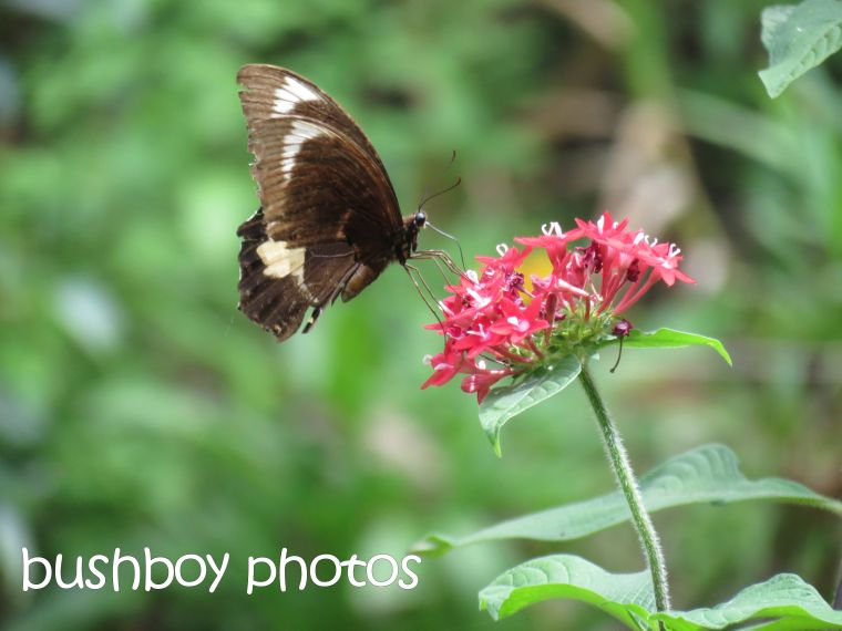 butterfly01_pentas_named_binna burra_march 2016