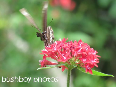 butterfly02_pentas_named_binna burra_march 2016