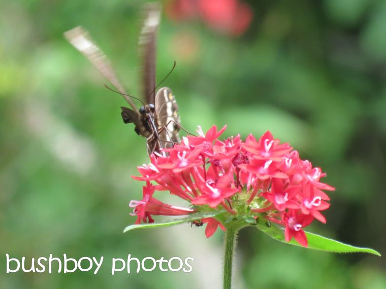butterfly02_pentas_named_binna burra_march 2016