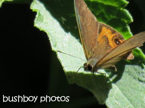 butterfly_binna burra_named_feb 2016
