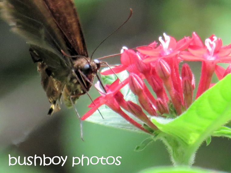 butterfly_pentas_named_binna burra_march 2016