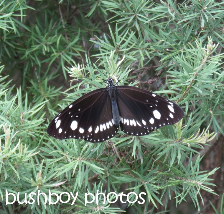 common crow butterfly_named_lismore_march 2016