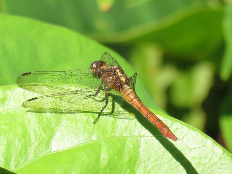 dragonfly01_binna burra_named_feb 2016