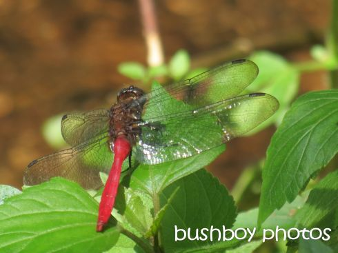 dragonfly01_red_named_march 2016