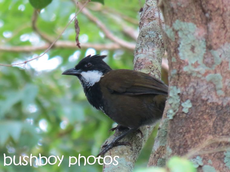 eastern whipbird_named_binna burra_march 2016