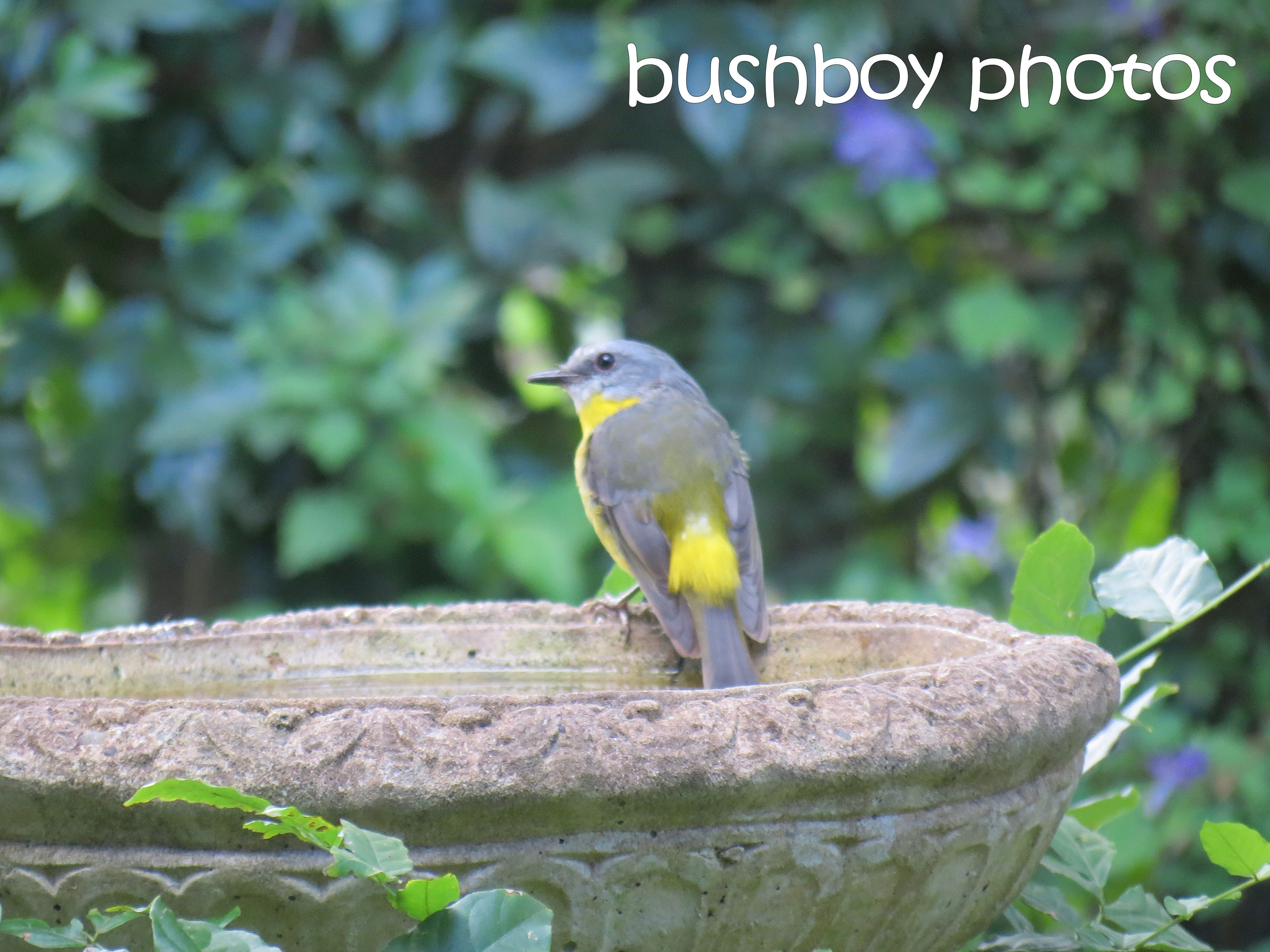 eastern yellow robin_bird bath_named_binna burra_march 2016