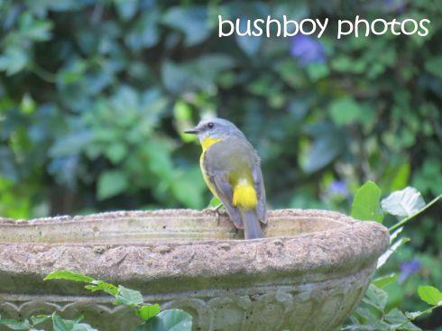 eastern yellow robin_bird bath_named_binna burra_march 2016