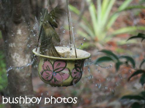 lewins honeyeater_bird bath_splash_named_home_march 2016