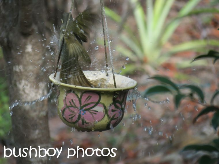 lewins honeyeater_bird bath_splash_named_home_march 2016
