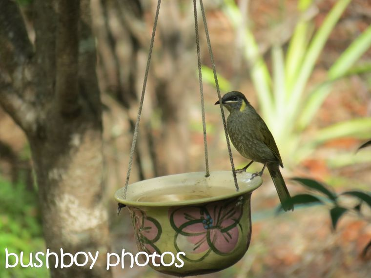 lewins honeyeater_named_home_march 2016