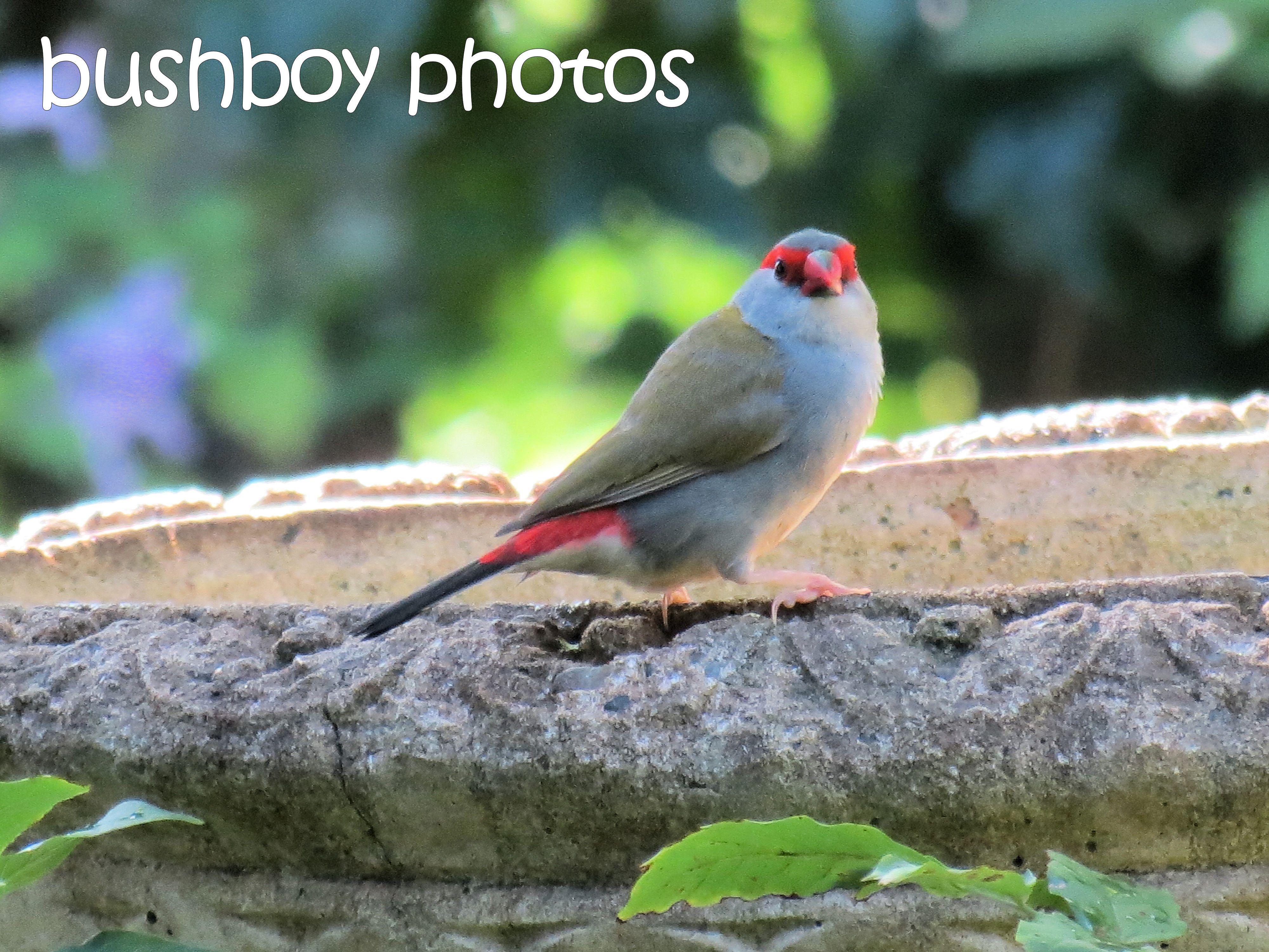 red browed firetail_bird bath_named_binna burra_march 2016