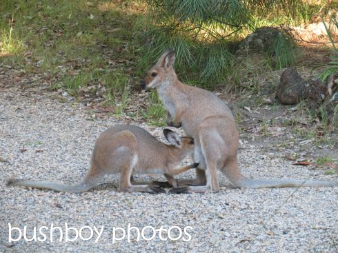 red-necked wallaby_young_home_named