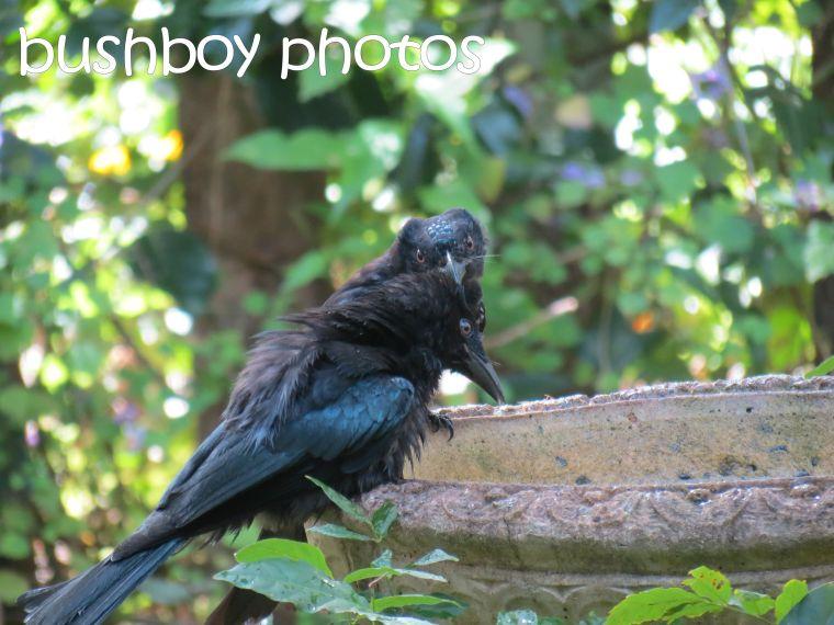 spangled drongos__bird bath_named_binna burra_march 2016