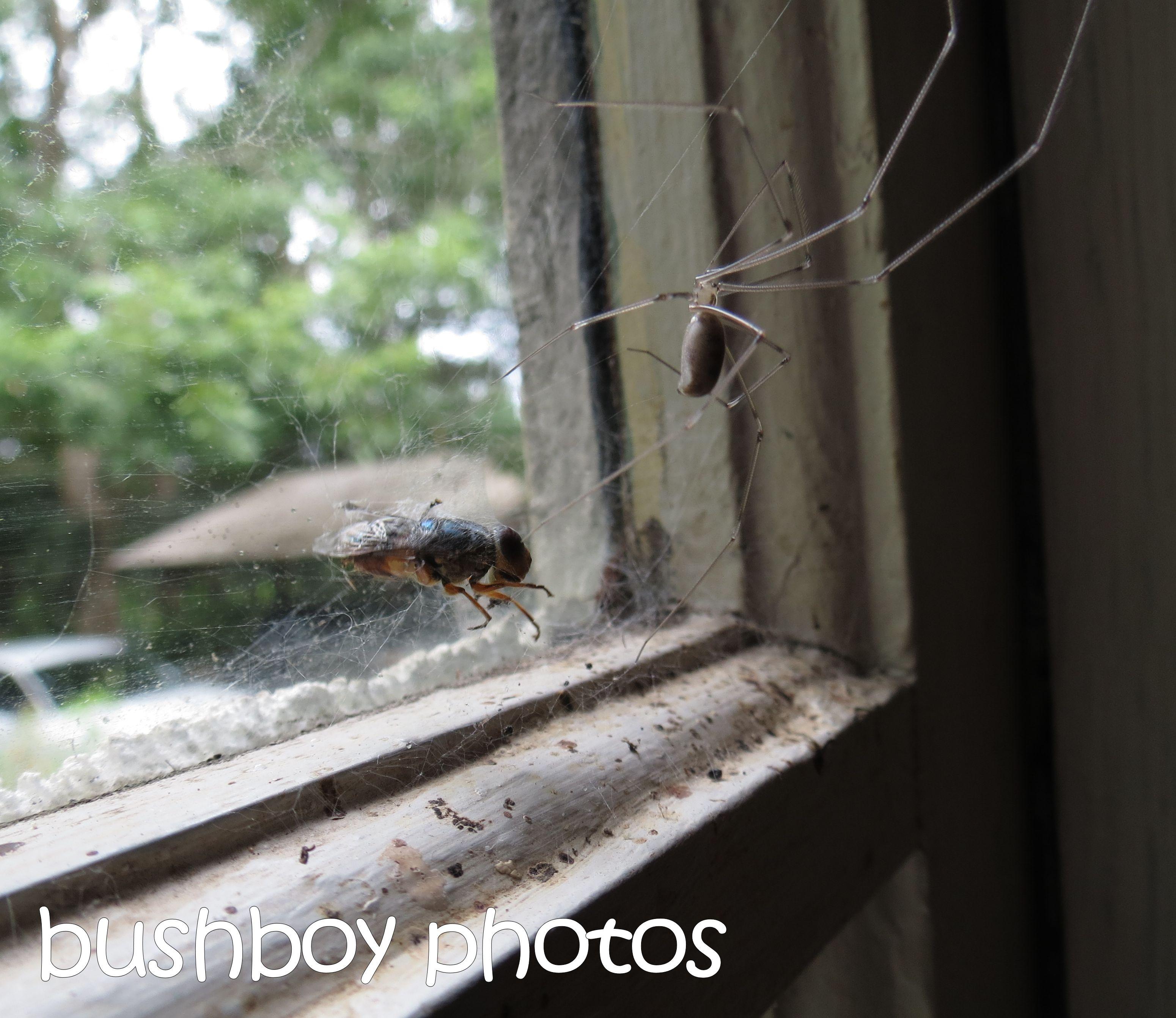 spider_fly_crop_named_binna burra_march 2016
