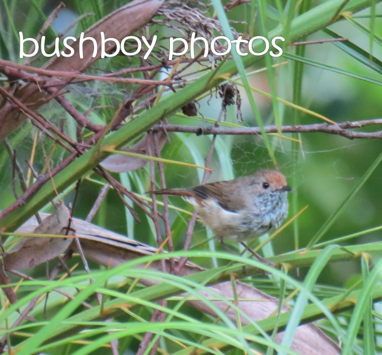 thornbill_named_binna burra_march 2016