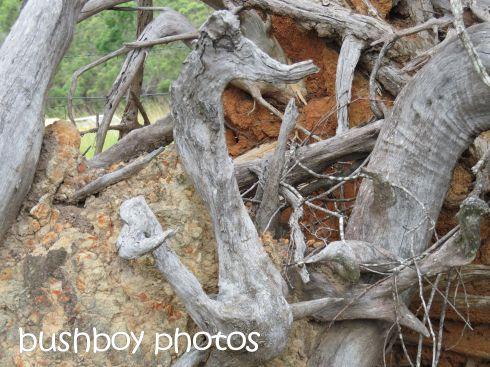 tree root_duck_buccarumbi_named_feb 2016