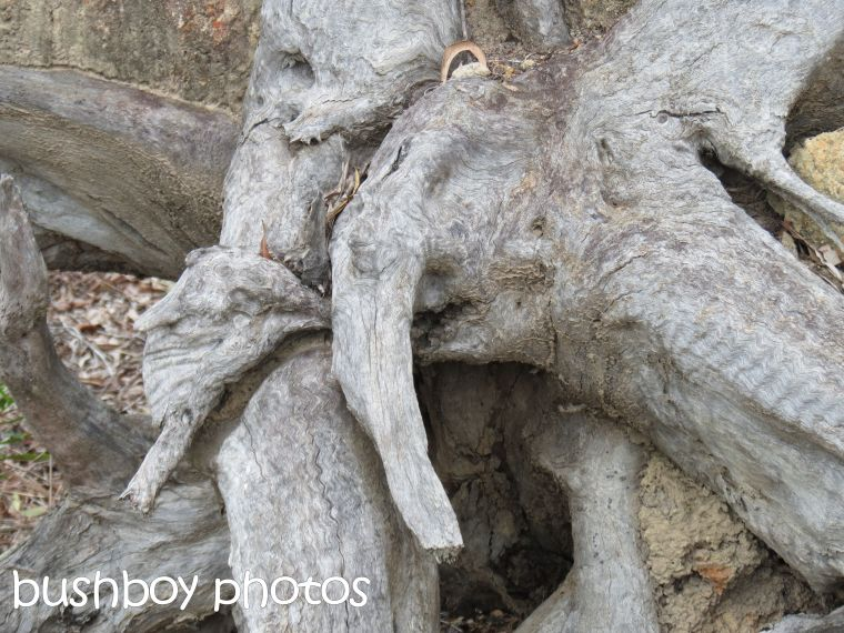 tree root_elephant_buccarumbi_named_feb 2016