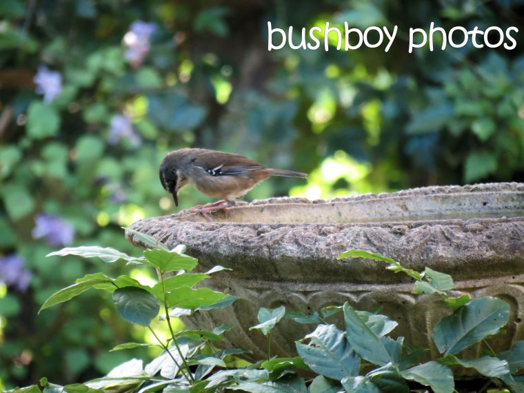 white browed scrubwren_bird bath_named_binna burra_march 2016