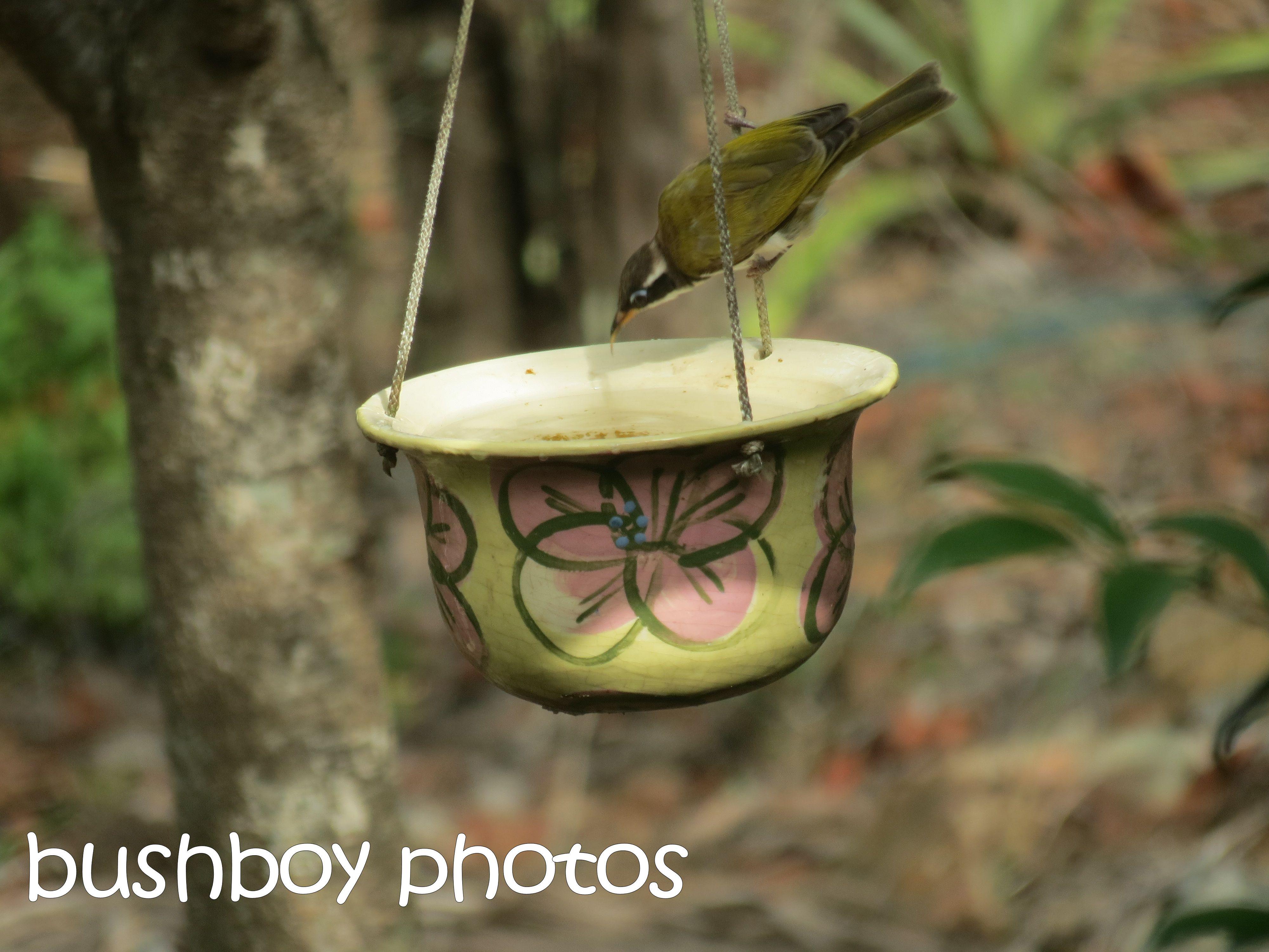 white throated honeyeater_bird bath_named_home_march 2016