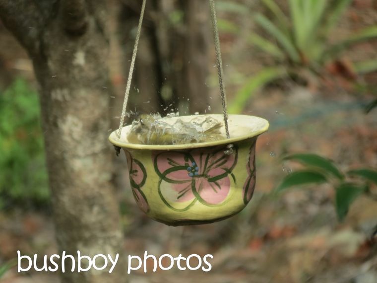 white throated honeyeater_bird bath_splash_named_home_march 2016