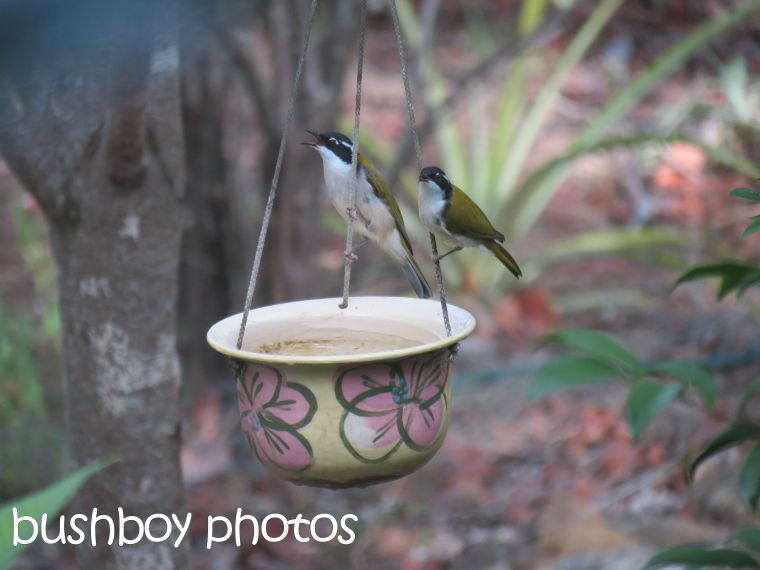 white-throated honeyeaters_bird bath_named_home_march 2016