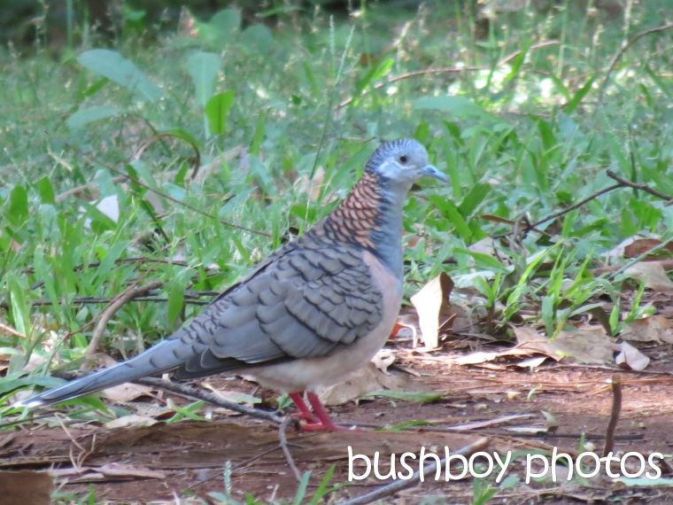 bar shouldered dove_binna burra_named_april 2016