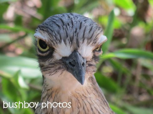 beach stone curlew_close_macleay island_named_april 2016