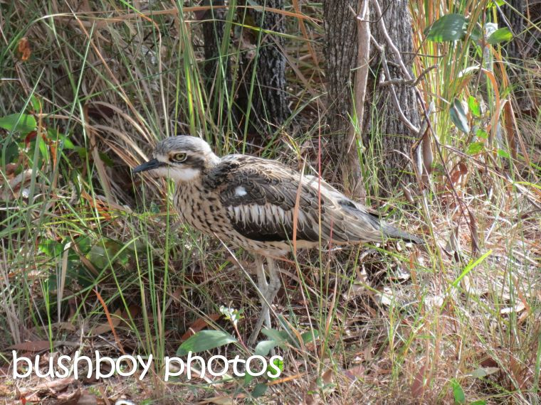 beach stone curlew_macleay island_named_april 2016