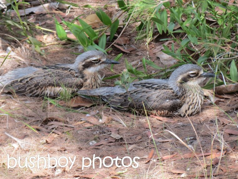 beach stone curlew_two_macleay island_named_april 2016