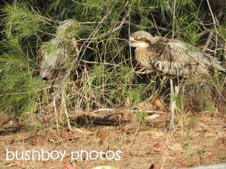 beach stone curlews01_macleay island_named_may 2016