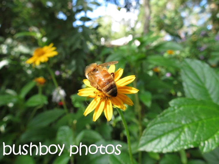 bee_yellow flower_binna burra_named__april 2016