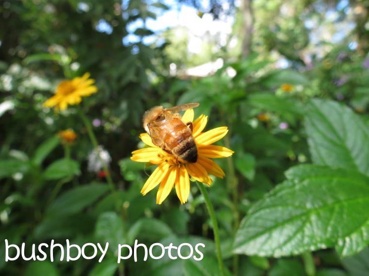 bee_yellow flower_binna burra_named__april 2016