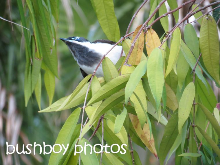 blue faced honeyeater_home_named_may 2016