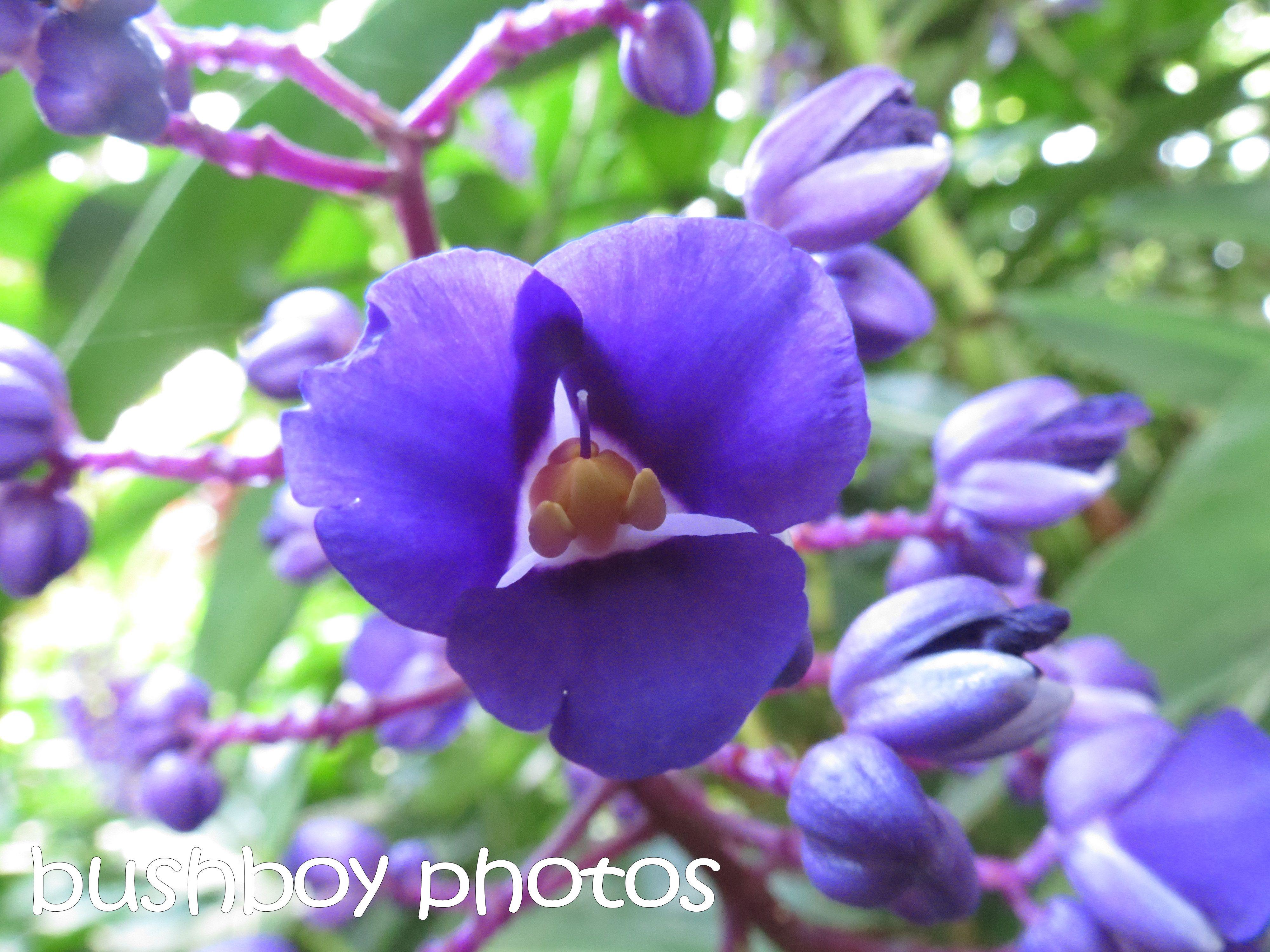 blue ginger flower_binna burra_named_april 2016
