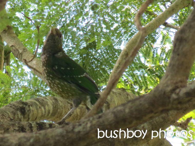 catbird_binna burra_named_april 2016