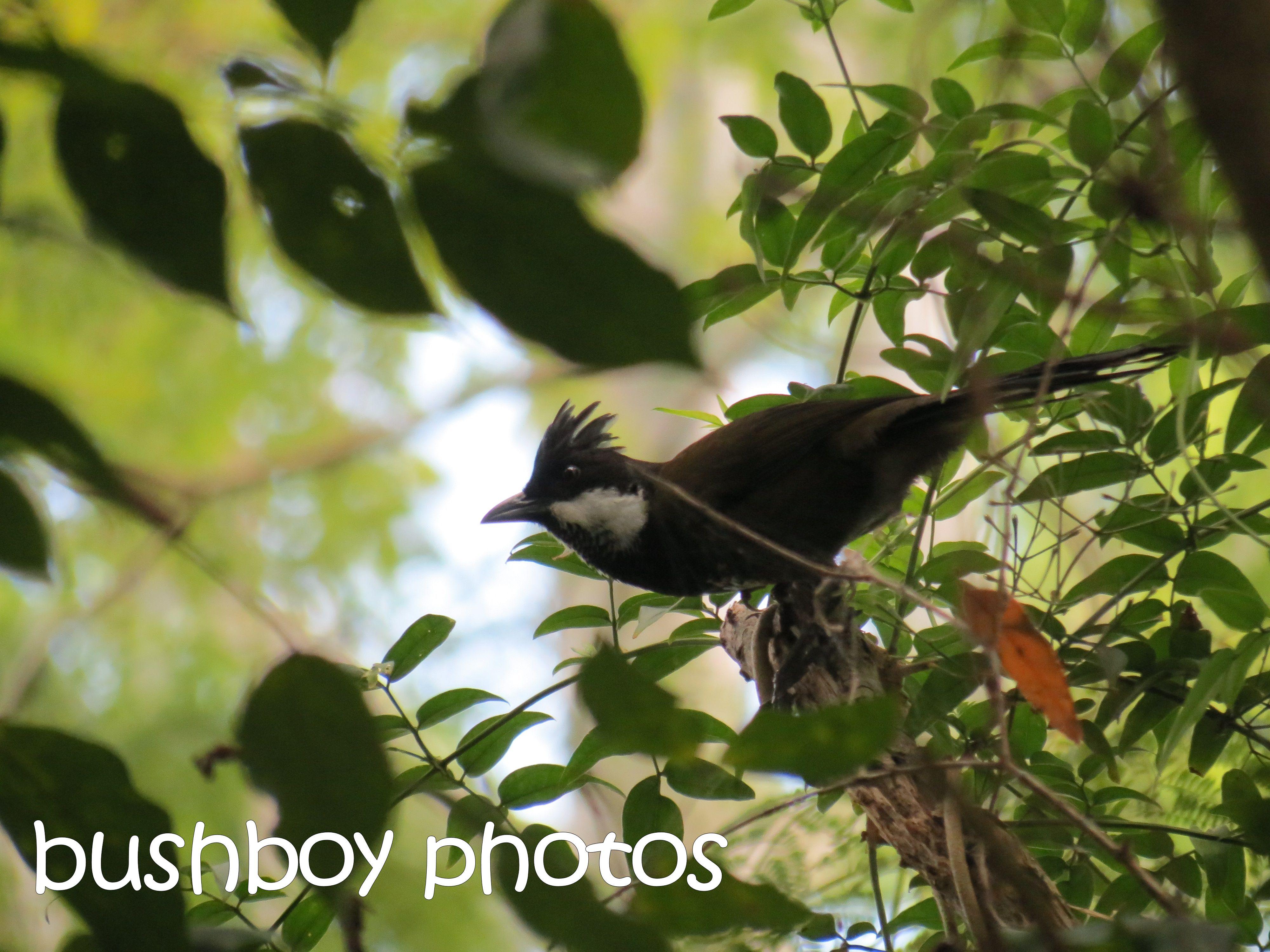 eastern whipbird_binna burra_named_april 2016