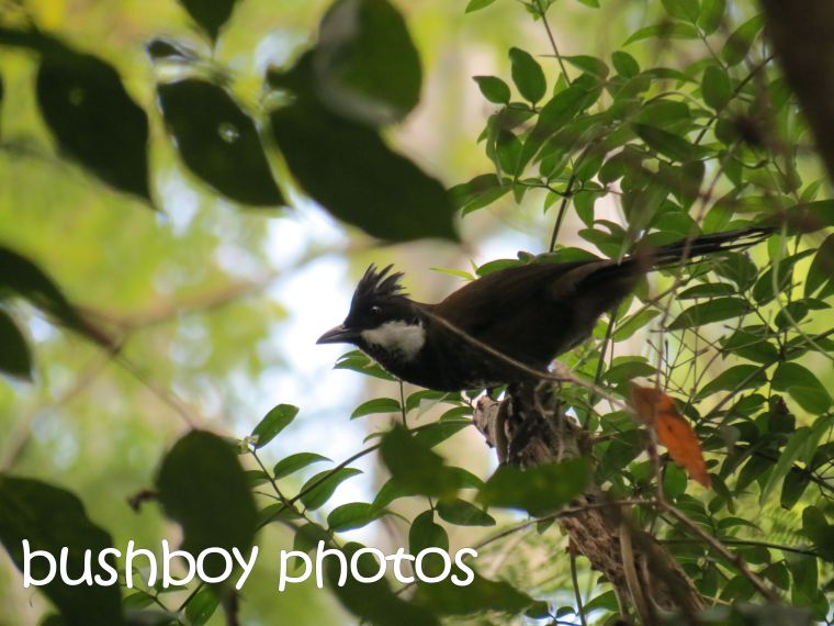 eastern whipbird_binna burra_named_april 2016