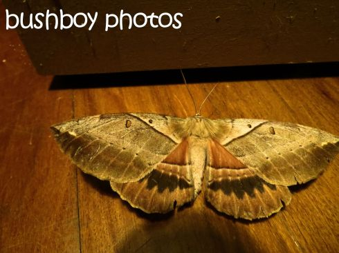 emperor gum moth_named_home_may 2016