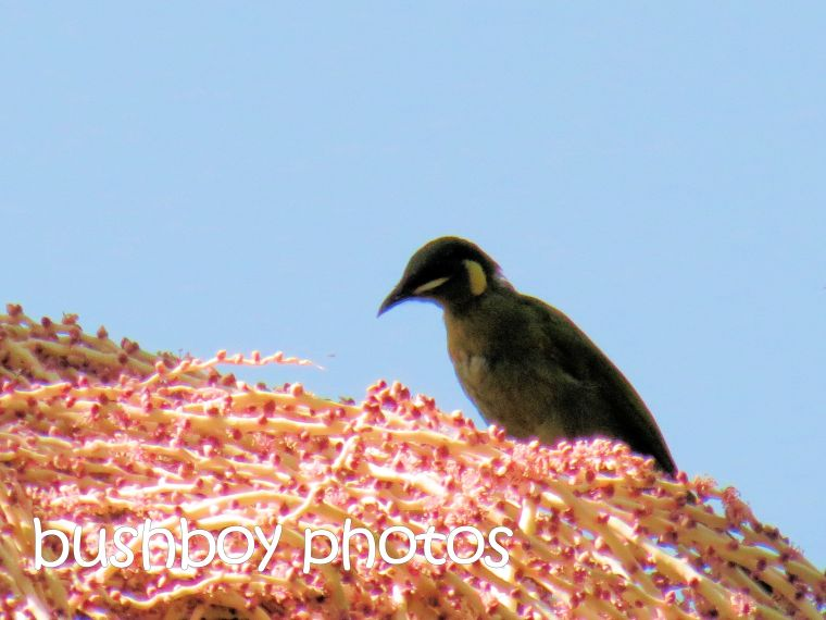 lewins honeyeater_binna burra_named_april 2016