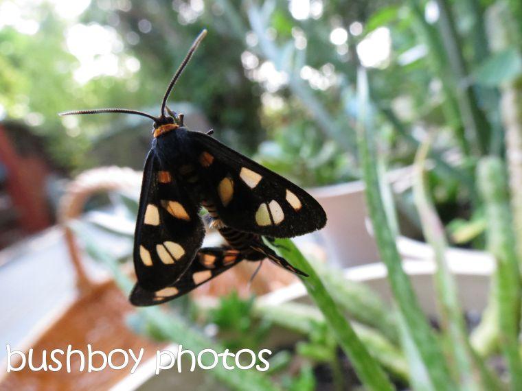moths_sex_named_binna burra_april 2016