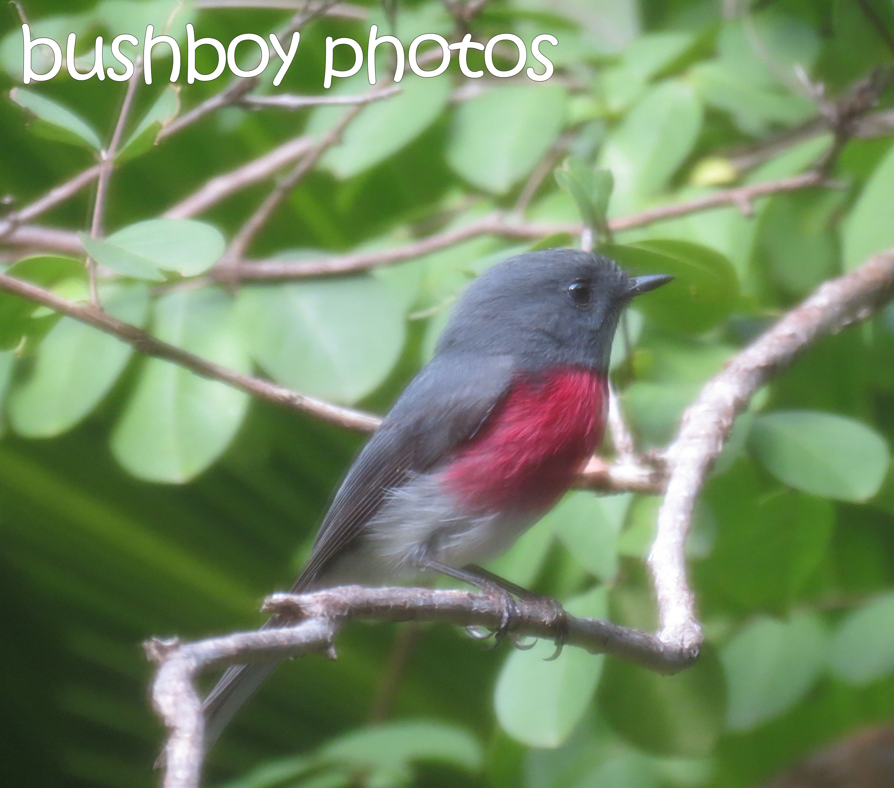 rose robin01_crop_named_home_may 2106