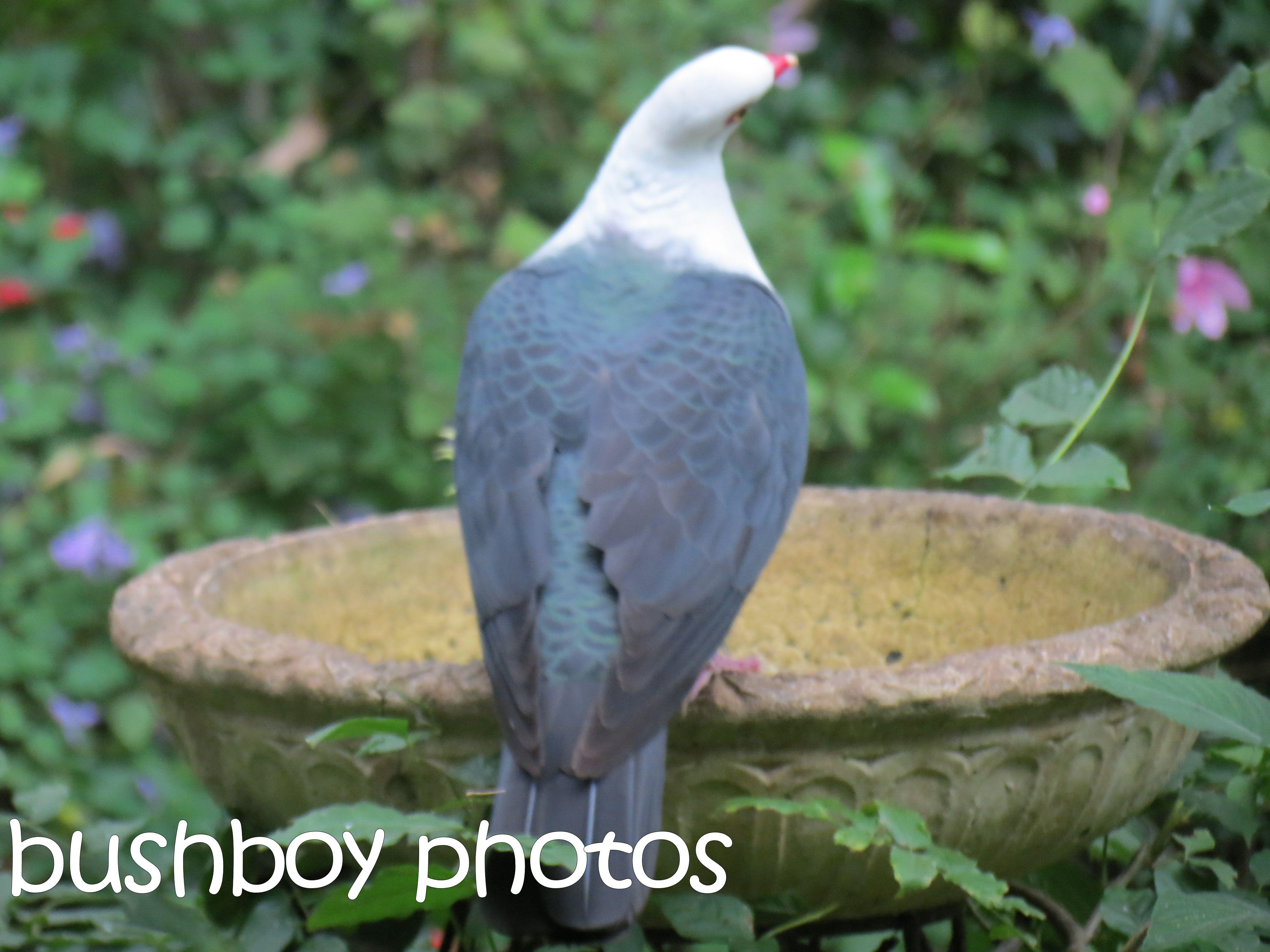 white headed pigeon_binna burra_named_april 2016