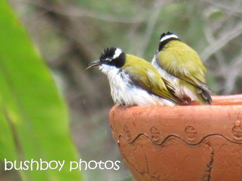 white throated honeyeaters01_birdbath_home_named_may 2016